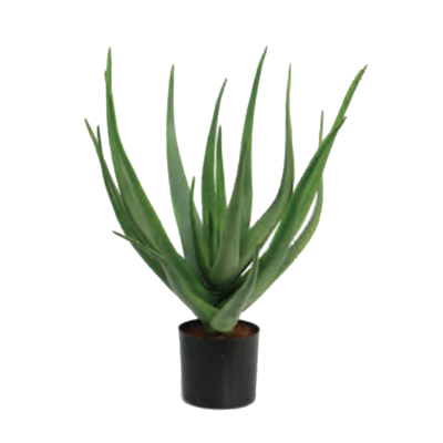 Aloe Plant by Europlanters