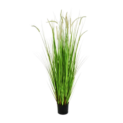 Dogtail Grass Tall by Europlanters