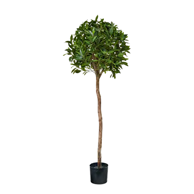 Bay Tree by Europlanters